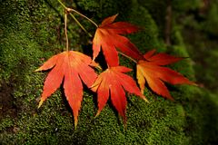 Autum leaves Royalty Free Stock Image