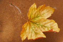 Autum leaves floating in the water. With sand background Stock Images