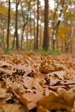 Autum leaves in the forest Stock Images