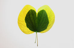 Autum leaves-green and yellow, nostalgia and love symbol. Royalty Free Stock Image