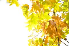 Autum leaves over white Royalty Free Stock Image