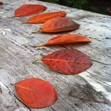 Autum leaves Royalty Free Stock Photos