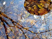 Autum leaves yellow twigs melaholy  reflection in water. Autum leaves yellow scale twigs reflection in water melaholy autum three tree trunk warm scale Royalty Free Stock Images