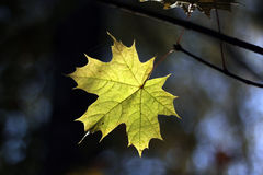 Autum maple leaf Royalty Free Stock Images