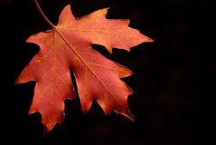 Autum Maple Leaf. Closeup Detail of a Red autumn maple leaf with black backgrouind Royalty Free Stock Photo