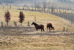 Autum moods. Two brown horses outside on a field Royalty Free Stock Images
