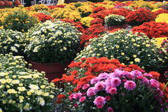Autum Mums Royalty Free Stock Photos