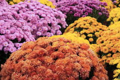 Autum Mums Royalty Free Stock Images