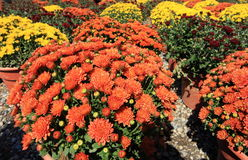 Autum Mums Stock Images