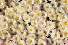 Autum mums, chrysanthemums closeup Royalty Free Stock Photography