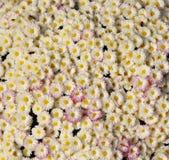 Autum mums, chrysanthemums closeup Stock Images