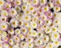 Autum mums, chrysanthemums closeup Royalty Free Stock Images