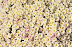 Autum mums, chrysanthemums closeup Stock Image