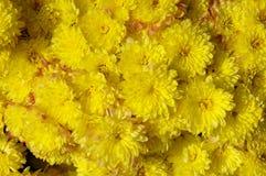 Autum mums, chrysanthemums closeup Stock Photography