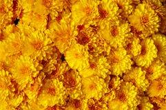 Autum mums, chrysanthemums closeup Stock Photo