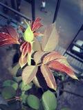 Autum, Rode bladeren, het Bloeien Stock Afbeelding