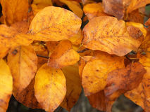 Autum's leaves Royalty Free Stock Photos