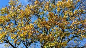 Autum tree Royalty Free Stock Photo