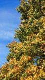 Autum tree Royalty Free Stock Image
