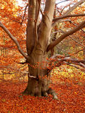 Autum tree detail Royalty Free Stock Photography