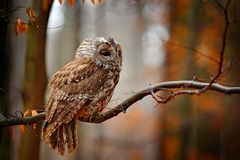 Autum wildlife in the forrest. Tawny owl hidden in the fall wood, sitting on tree trunk in the dark forest habitat. Beautiful royalty free stock image
