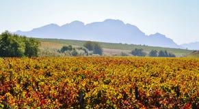 Autum wine field Stock Image