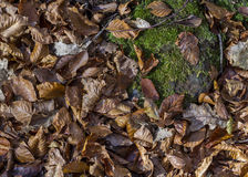 Autumm: dead leaves on the ground Royalty Free Stock Photo