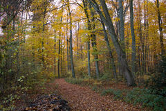 Autumm Forrest. Wonderful leaves and trees in a colorful autumm forrest stock photography
