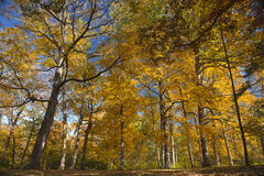 Autumm scene with trees Royalty Free Stock Image