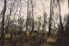 Autumn& x27; лес березы s стоковые фото