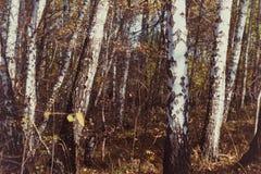 Autumn& x27; лес березы s стоковое изображение rf