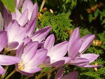 Autumn 04. Gleaming in the sun, violet flowers that glow in the autumn Stock Images