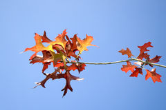 Autumn 1. Red autumn leaves agianst blue sky Stock Photography