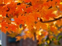 Autumn. Red maple tree in the garden Stock Image