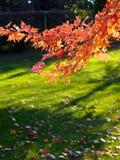 Autumn. Red maple tree in autumn Stock Photos