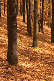 Autumn. Forest a golden leafs Royalty Free Stock Images