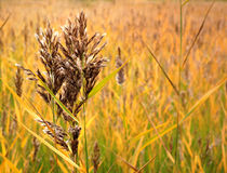 Autumn. Beautifull golden grass in autumn Royalty Free Stock Photos