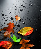 Autumn. Beautiful Wet Bright Autumn Leaves on a Black Background stock image