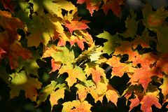 Autumn. Maple tree leaves in autumn Stock Image