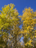 Autumn. Trees with yellow leaves and blue sky Stock Photography