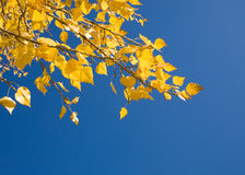 Autumn. Yellow autumn leaves of a against the blue sky Royalty Free Stock Photos