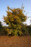 Autumn. Rodengo (Bs),Franciacorta,Lombardy,Italy,a yellow plant in November Stock Images