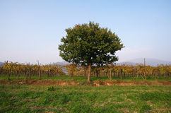 Autumn. Rodengo (Bs),Franciacorta,Lombardy,Italy,a cherry between vineyards Royalty Free Stock Photos