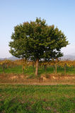 Autumn. Rodengo (Bs),Franciacorta,Lombardy,Italy,a cherry between vineyards Royalty Free Stock Images