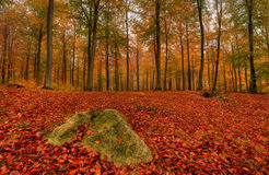 Autumn. In the woods a foggy day Royalty Free Stock Images