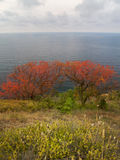 Autumn. Two red trees on a cliff stock images
