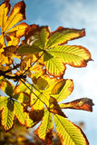 Autumn. Colored leaves on the tree as a background Royalty Free Stock Image