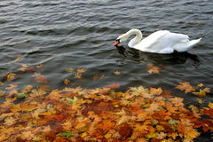 Autumn. Swan in a lake at autumn time stock images