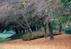 Autumn. A row of trees with fallen leaves in autumn stock images