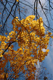 Autumn. Autum. Yellow tree on the blue sky Stock Image